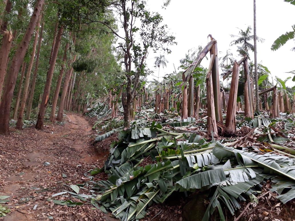 Milhares de pés de bana foram destruídos . Crédito: Colaborador Rede Gazeta Pedro Lourencini