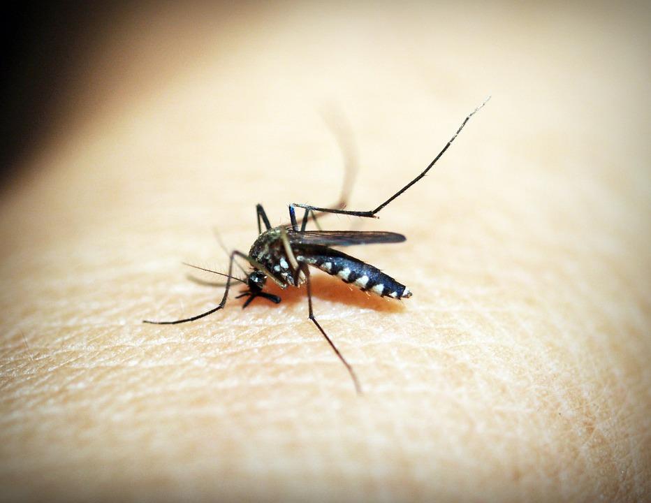 Aedes Aegypti: mosquito transmissor da dengue. Crédito: Pixabay
