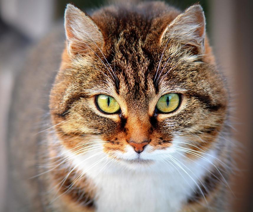 Gato. Crédito: Pixabay