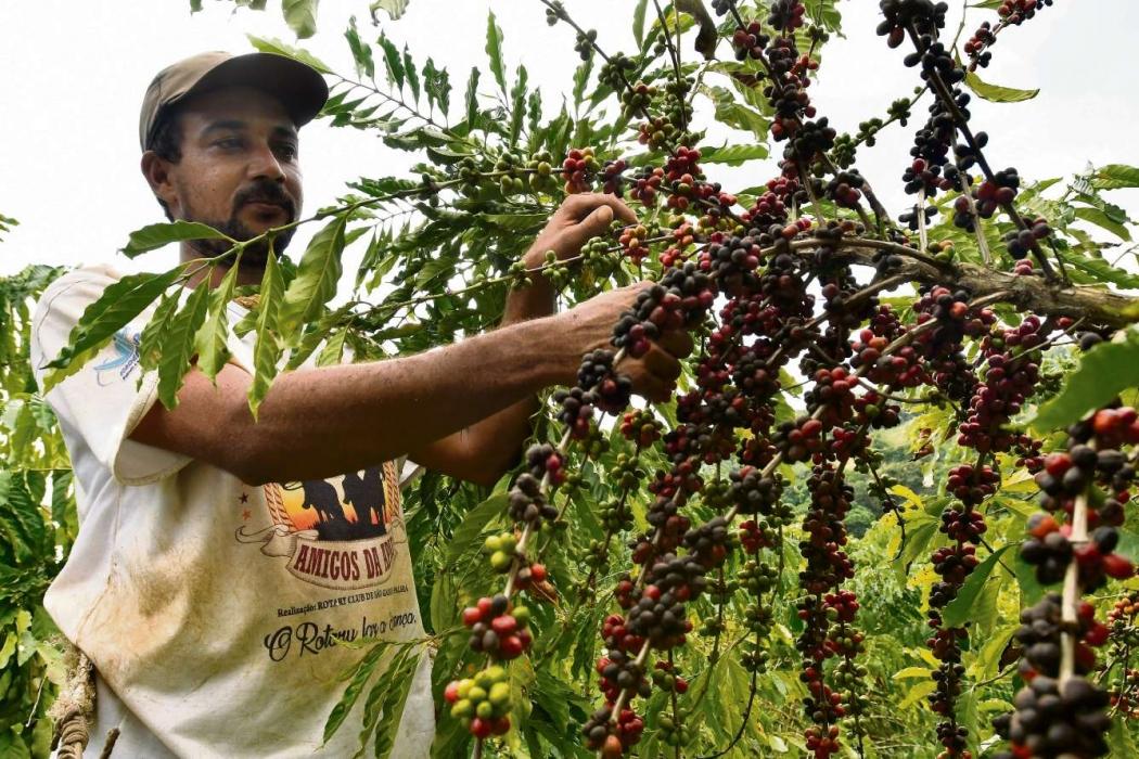 Pedro Thiago do Nascimento, 32 anos, agricultor,  trabalha na colheita do café. Crédito: Bernardo Coutinho