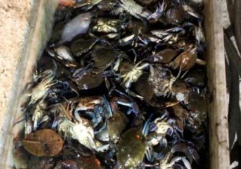 Siris foram pescados indevidamente na baía de Vitória e encontrados por equipe de fiscalização ambiental. Crédito: Reprodução/PMV