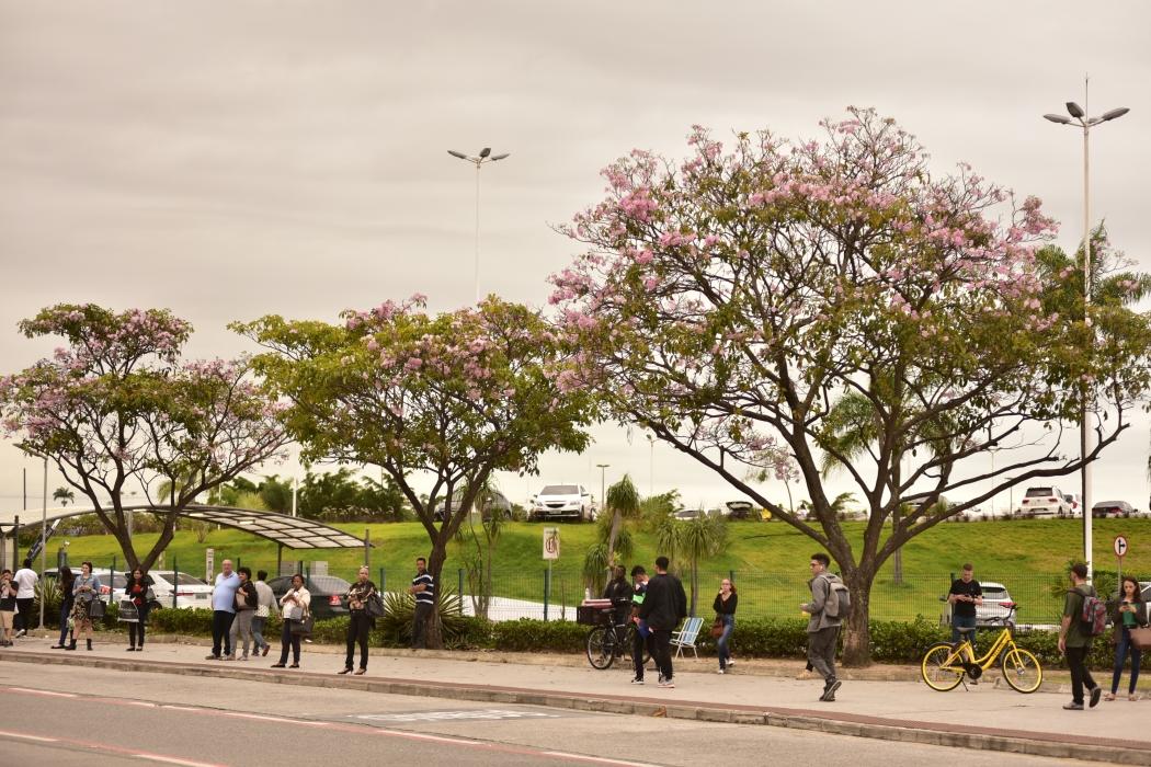 Florada de ipês rosas em Vitória. Crédito: Fernando Madeira