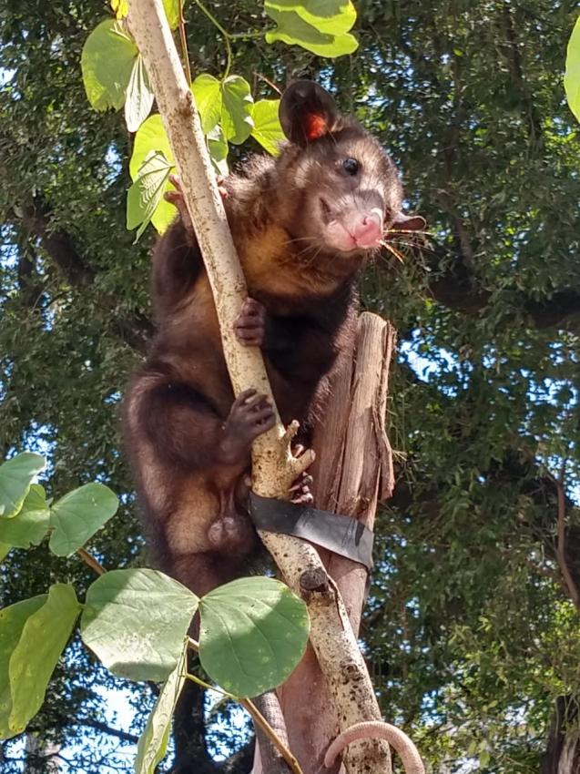 Resgate de gambá no Parque Moscoso, em Vitória, na manhã deste domingo (1). Crédito: Internauta | Gazeta Online