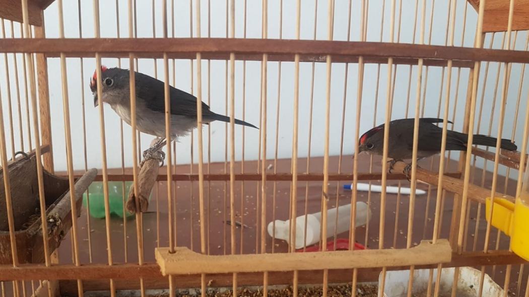 Pássaros que viviam em cativeiro em São José do Calçado. Crédito: Divulgação | Polícia Militar Ambiental