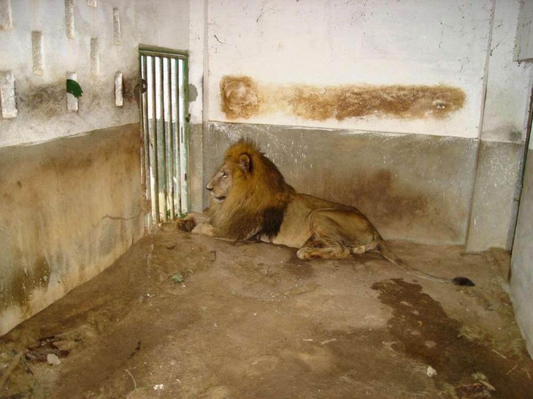 Leão Darshan, quando vivia em uma jaula em frente ao frigorífico Frincasa, no bairro Itanguá, em Cariacica. Crédito: Deivid Dantas/fotoleitor